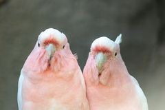 Lovely couple of cockatoos.Cute portrait of two parrots in love, sitting next to each other. royalty free stock photo