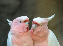 Lovely couple of cockatoos. Cute couple white and pink cockatoos kissing and making love royalty free stock photography