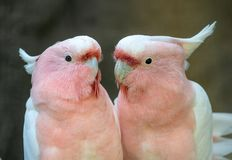 Lovely couple of cockatoos. Cute couple white and pink cockatoos kissing and making love royalty free stock photo