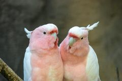 Lovely couple of cockatoos. Cute couple white and pink cockatoos kissing and making love stock photography