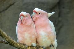 Lovely couple of cockatoos.Two lovers parrot white and pink colors sitting on a branch and cooing royalty free stock photography