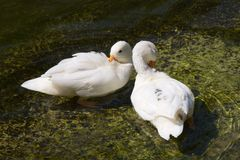 Lovely Couple Duck. Lovely Smiling Couple White Duck in the Emerald Water Royalty Free Stock Photos