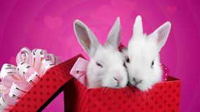 Lovely couple of fluffy bunnies with pink bows, eating arugula salad. And then looking at the camera, closeup, pink background stock video footage