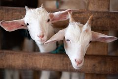 Lovely Couple Kid White Goats. Two Little White Goats Standing I Stock Photography