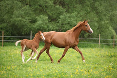 Lovely couple - mare with its foal - running together Royalty Free Stock Photo