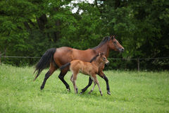 Lovely couple - mare with its foal - running together Stock Photography