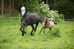 Lovely couple - mare with its foal - running together Royalty Free Stock Image