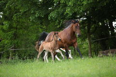 Lovely couple - mare with its foal - running together Royalty Free Stock Photography