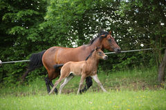 Lovely couple - mare with its foal - running together Stock Image