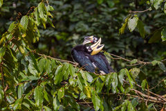 Lovely Couple of Oriental pied hornbill Stock Photography