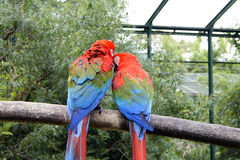 Lovely parrots couple Royalty Free Stock Photography