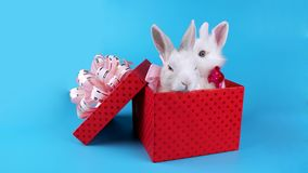 Lovely couple of rabbits with pink bows, relaxing in the present box stock footage