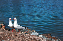 Lovely couple of sea gulls Stock Photos