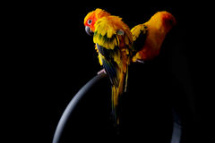 Lovely Couple of Sun Conure in black background Stock Images