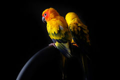 Lovely Couple of Sun Conure in black background Royalty Free Stock Photography