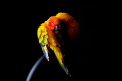 Lovely Couple of Sun Conure in black background Stock Image