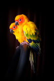 Lovely Couple of Sun Conure in black background Stock Photo