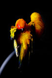 Lovely Couple of Sun Conure in black background Stock Photography