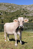 Lovely cow with head covered with flies Stock Photo