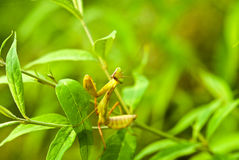 Lovely creature-mantis Royalty Free Stock Images