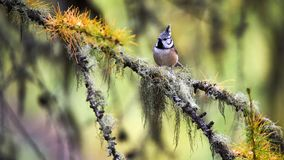 Lovely crested tit in autumn. Adorable crested tit perched on a branch of larch in autumn royalty free stock images