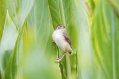 A lovely cub of Plain Prinia or White-browed Prinia catch on the Royalty Free Stock Image