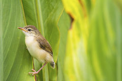 A lovely cub of Plain Prinia or White-browed Prinia catch on the Stock Photos