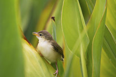 A lovely cub of Plain Prinia or White-browed Prinia catch Royalty Free Stock Image