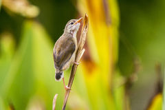 A lovely cub of Plain Prinia or White-browed Prinia Royalty Free Stock Photo