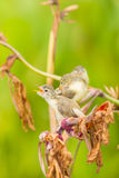 A lovely cub of Plain Prinia Royalty Free Stock Image