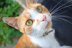 Lovely, Cute Cat Looking Into Camera Royalty Free Stock Image