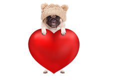 Lovely cute pug puppy dog hanging with paws on big valentine`s day heart, isolated on white background. Lovely cute pug puppy dog hanging with paws on big red royalty free stock images