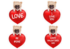 Lovely cute pug puppy dog hanging with paws on big valentine`s day heart with text, isolated on white background. Lovely cute pug puppy dog with knitted hat royalty free stock photo