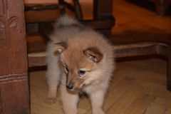 The lovely red puppy of breed the Finnish spitz royalty free stock images