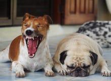 Lovely cute white fat pug dog sleepy face Stock Photos