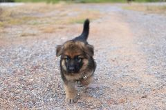 Lovely cutie German Shepherd puppy walking at outdoors home. Lovely cutie German Shepherd puppy walking at outdoors home Royalty Free Stock Images