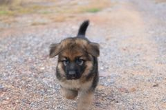 Lovely cutie German Shepherd puppy walking at outdoors home. Stock Photos