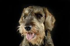 Lovely dachshund portait in black photo studio. Lovely dachshund portait in a black photo studio stock photos