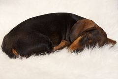 Lovely dachshund sleeping on fur blanket. Lovely dachshund puppy sleeping on fur blanket Stock Image