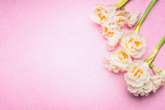 Lovely daffodils flowers on light pink background, top view, place for text. Royalty Free Stock Image