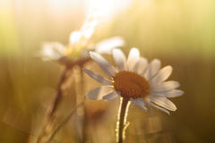 Lovely Daisies. Macro Picture of Lovely Field Daisies in the Morning Sun Royalty Free Stock Photography