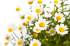 Lovely daisies Stock Photo
