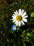 Lovely daisy and `eye of Madonna` Stock Images