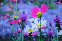 Lovely Daisy Royalty Free Stock Photo