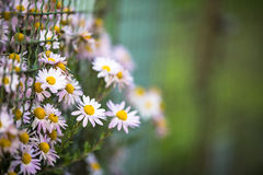 Lovely  daisyflowers Stock Image