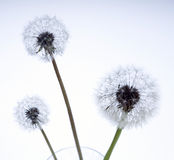 Lovely dandelion Royalty Free Stock Image