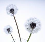 Lovely dandelion. Against white background royalty free stock image