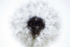 Lovely dandelion Stock Photography