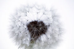 Lovely dandelion Royalty Free Stock Images