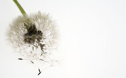 Lovely dandelion Royalty Free Stock Photography